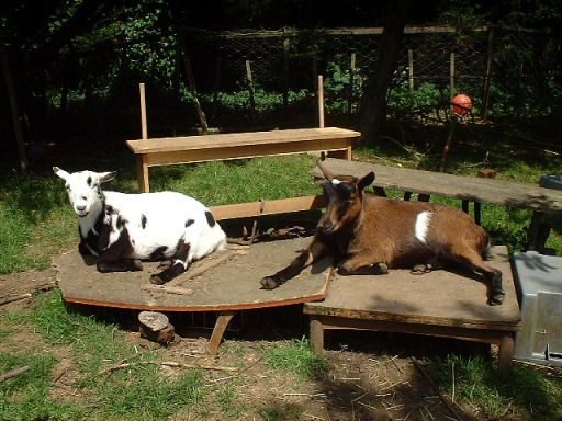 Pet pygmy goats, Henry and Joey